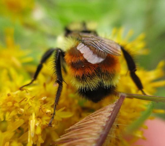 Orange and Yellow Bumble - Bombus
