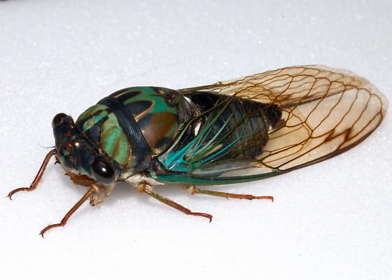 Fresh Colorful Cicada - Neotibicen lyricen