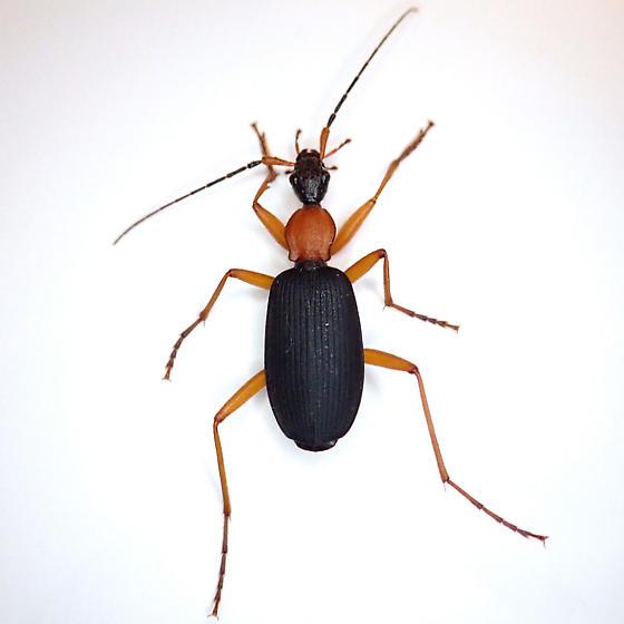 Galerita bicolor
