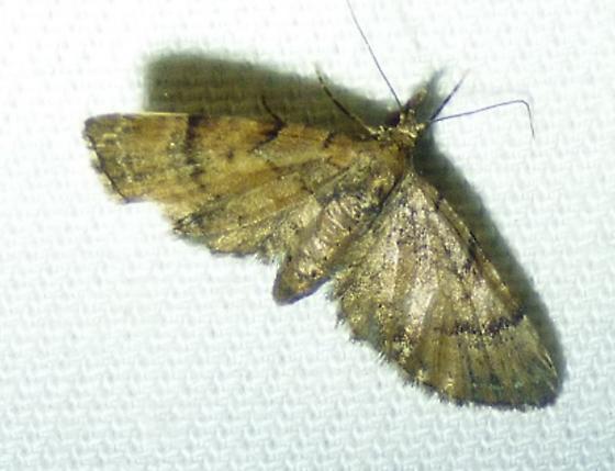 Eupithecia peckorum - Peck's Pug Moth - Eupithecia peckorum