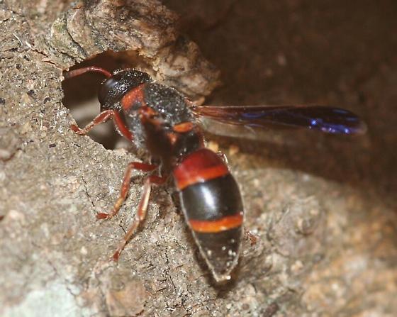 Red-marked Pachodynerus - Pachodynerus erynnis