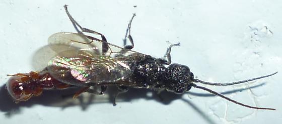 Bethylidae - Pristepyris
