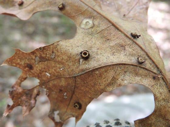 gall on oak leaf