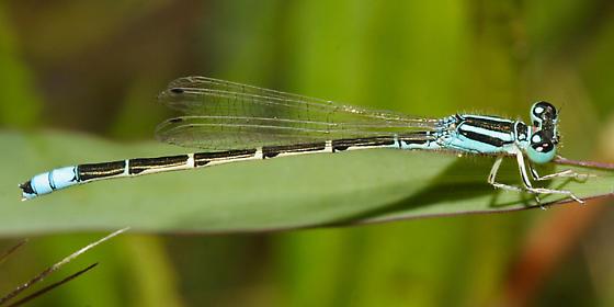 Desert Forktail - Ischnura barberi - male