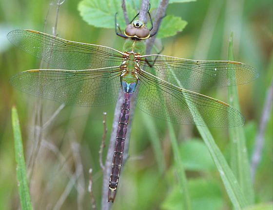 Green Darner - Anax junius - male