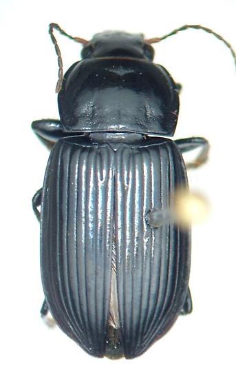Anisodactylus melanopus - male
