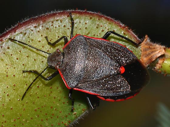 Conchuela Stink Bug - Chlorochroa ligata