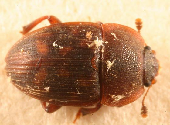 Sap Beetle - Stelidota octomaculata