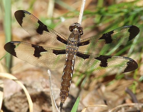 Baskettail? - Plathemis lydia - female