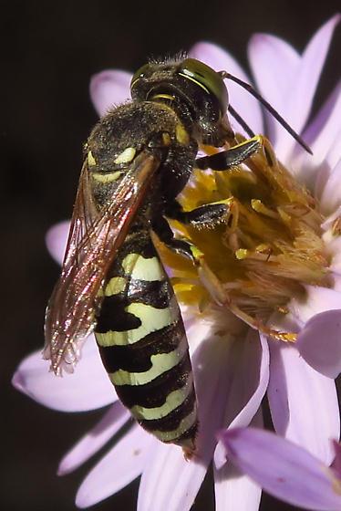 wasp on an aster - Steniolia