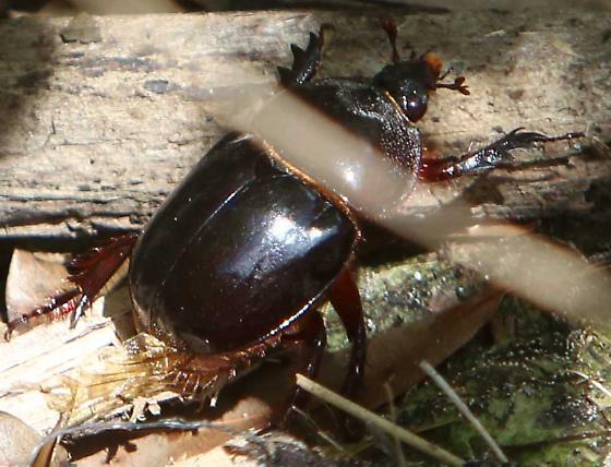 Maybe Rhinoceros Beetle subfamily - Strategus antaeus