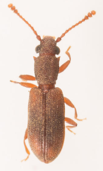 Beetle - Silvanoprus angusticollis