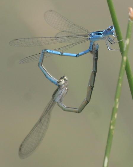 Mating Damselflies - Enallagma basidens - male - female