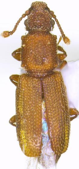 Monotoma testacea - female