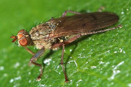 November fly - Scathophaga furcata