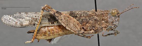 Acrididae - Trimerotropis pallidipennis? - Trimerotropis pallidipennis - female