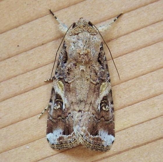 Noctuidae: Spodoptera frugiperda - Spodoptera frugiperda - male