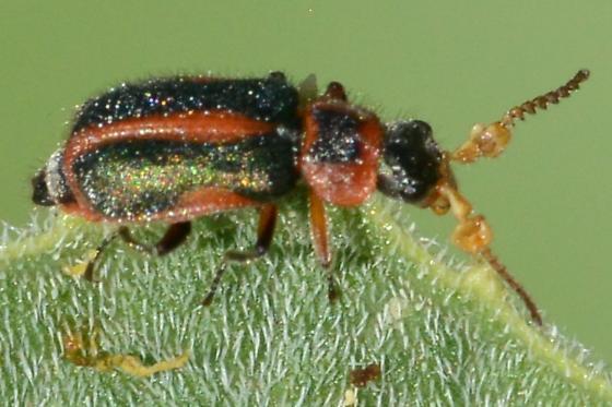 Odd Antenna Beetle - Collops