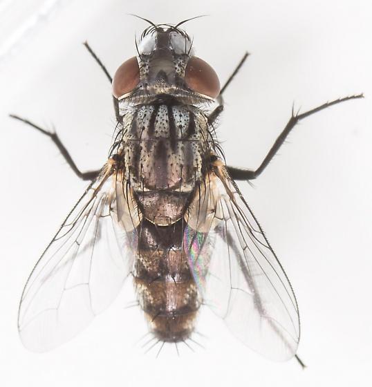 Fly - Metopia argyrocephala - male