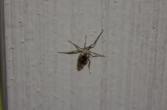 PNW Mystery Moth (Wingless?) - female