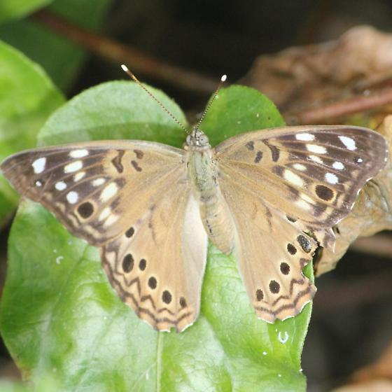 Tan Hackberry Emperor - Dorsal - Asterocampa celtis - female