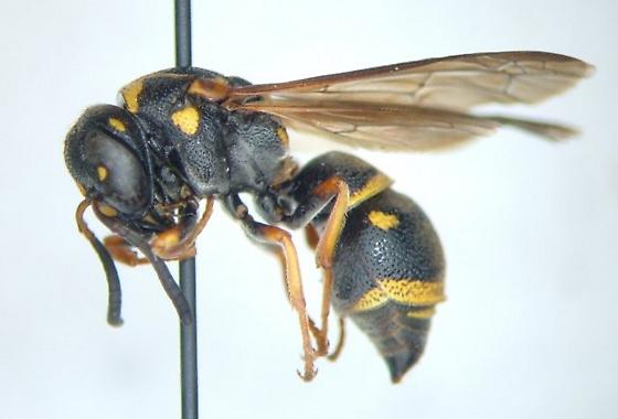 Stenodynerus fundatiformis - female