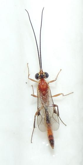 Wasp sp? - male