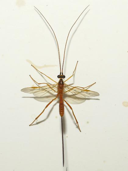 wasp - Macrocentrus - female
