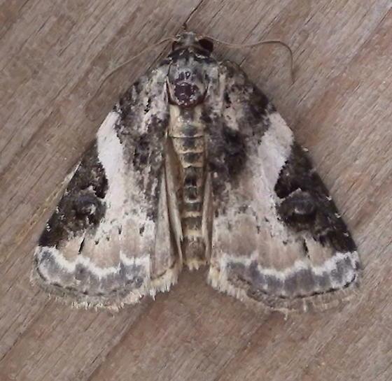 Noctuidae: Pseudeustrotia carneola - Pseudeustrotia carneola