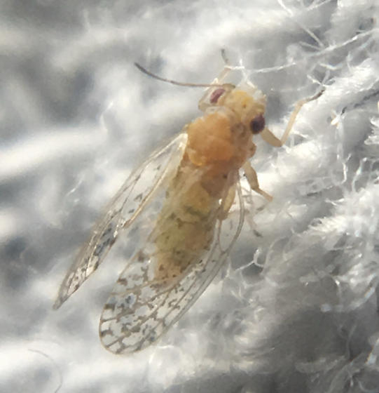 Acizzia uncatoides
