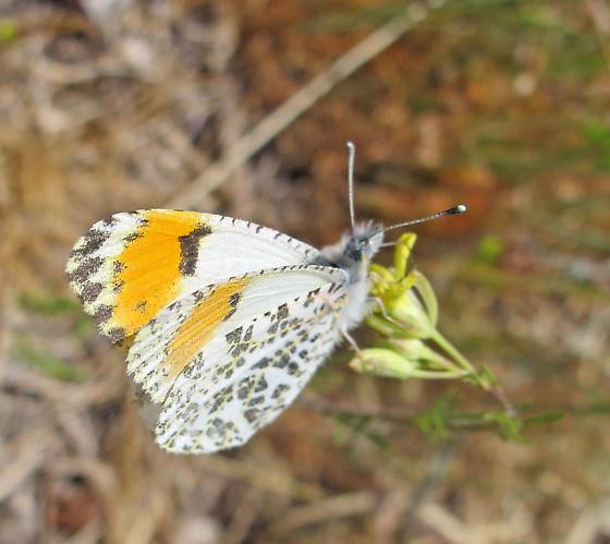 Stella Orangetip? - Anthocharis julia - female