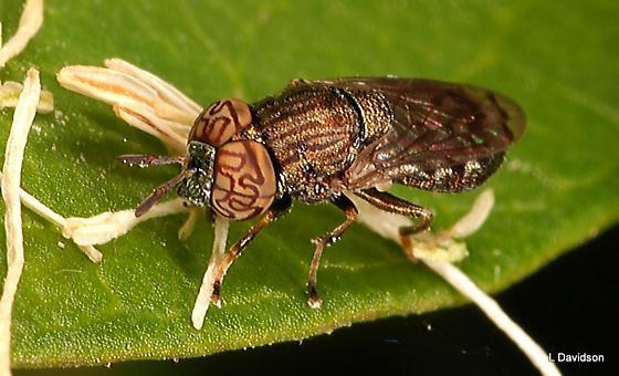 Syrphid Flies (Syrphidae)  » Eristalinae  » Brachyopini  » Orthonevra - Orthonevra nitida