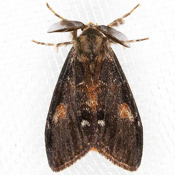 Douglas Fir Tussock - Orgyia pseudotsugata
