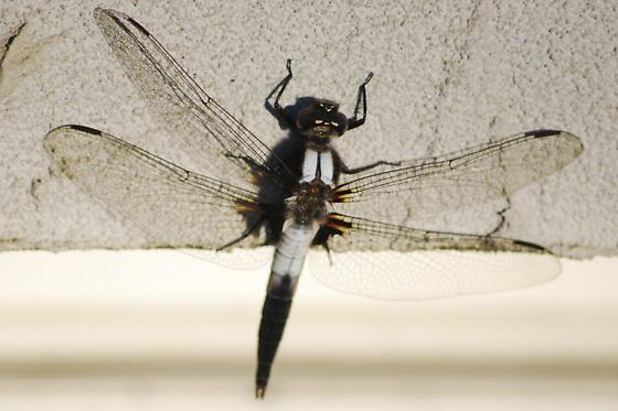 Unknown dragonfly - Ladona julia
