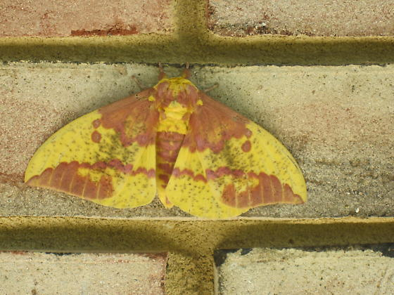 Unknown moth on brick wall - Eacles imperialis