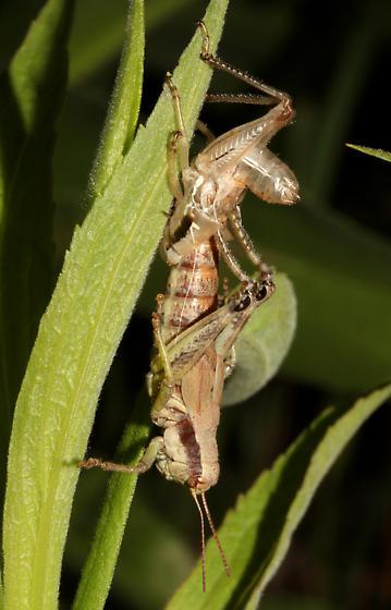 Acrididae, perhaps Melanoplus walshii, lateral - Melanoplus