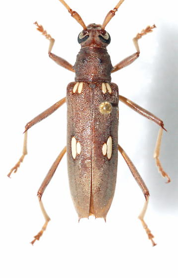 Ivory Longhorn - Eburia distincta