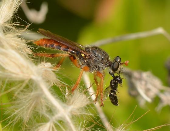 Robber Fly? - Andrenosoma hesperium - female