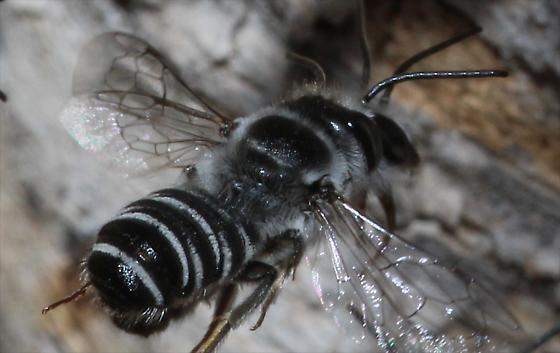 Bees feeding another in Palo Verde tree - Megachile