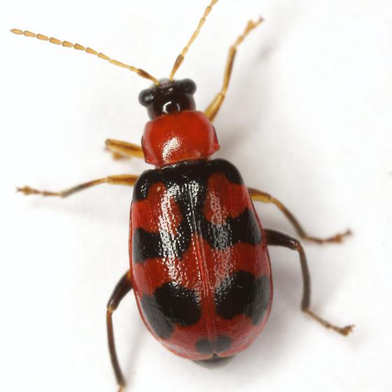 Cerotoma atrofasciata Jacoby - Cerotoma atrofasciata - female