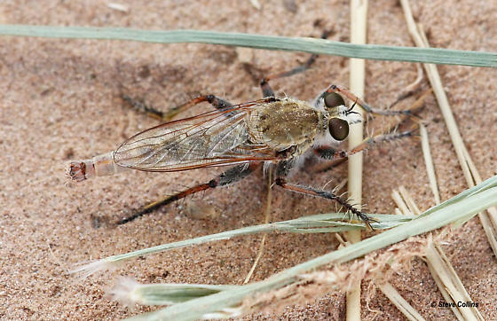 Proctacanthella - male