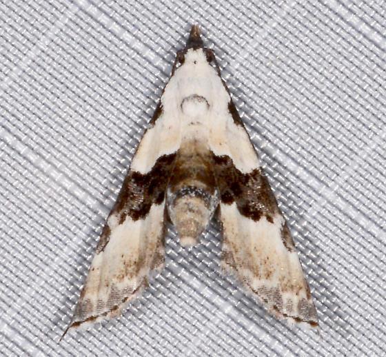 Thin-winged Owlet - Nigetia formosalis
