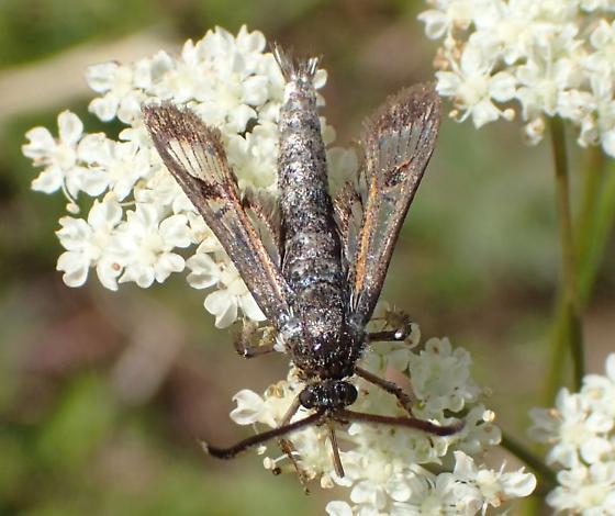 Sesiidae sp ? - Albuna pyramidalis