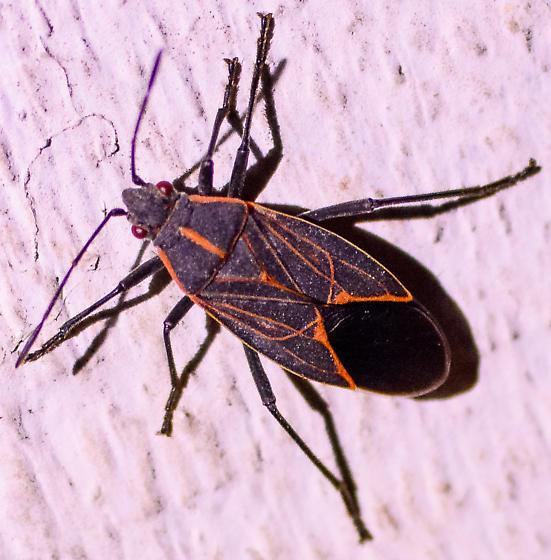 Unknown Hemipteran  - Boisea rubrolineata