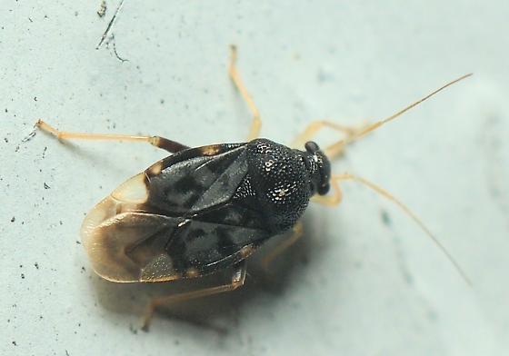 Unknown Hemipteran - Pycnoderes