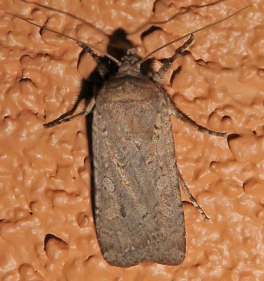 Variegated Cutworm - Peridroma saucia
