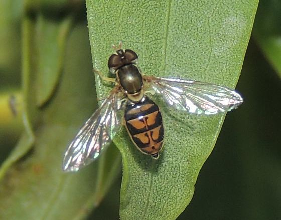 Fly sp. - Toxomerus marginatus
