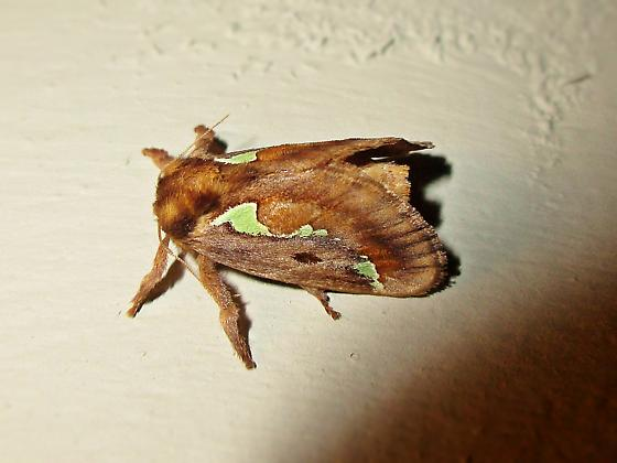 Don't know where to look for this moth - Euclea delphinii