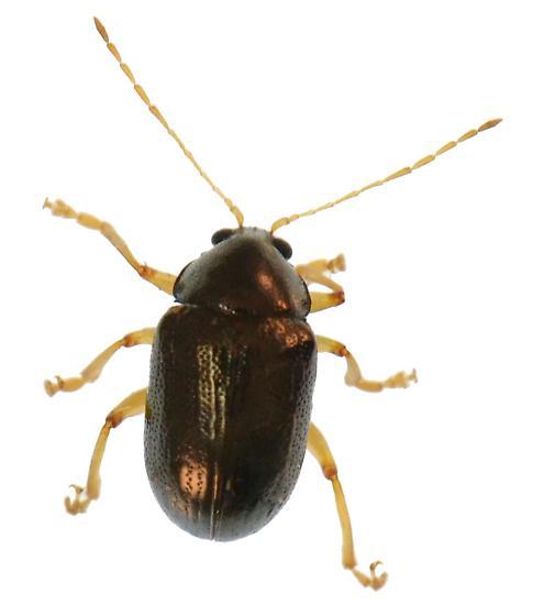 Unknown Beetle - Rhabdopterus