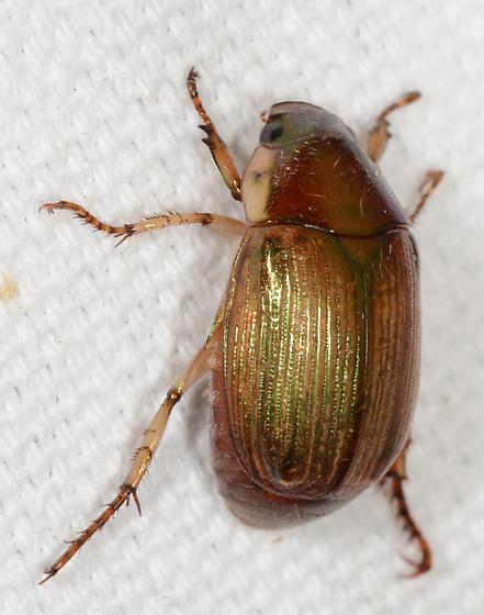 Callistethus marginatus - Anomala marginata
